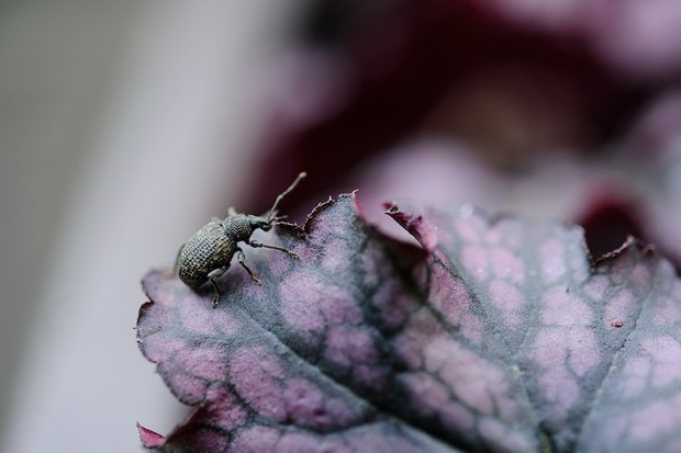 A vine weevil beetle sitting on the edge of a leaf