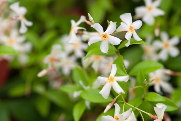 White, five-petalled star jasmine flowers