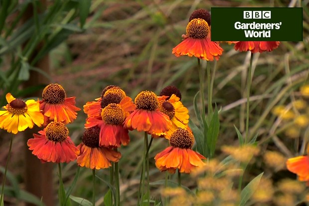 How to plant heleniums