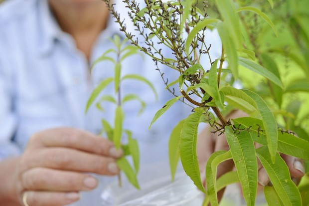 Picking a sprig of lemon verbena