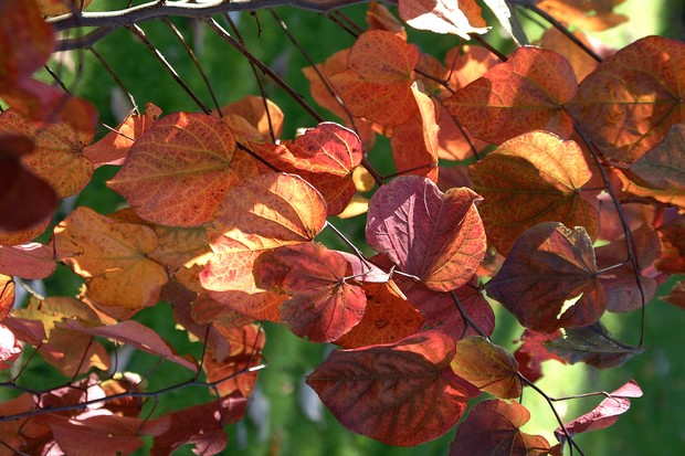 cercis-canadensis-forest-pansy-8
