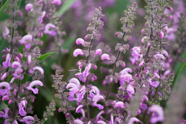 salvia-x-sylvestris-rose-queen-3
