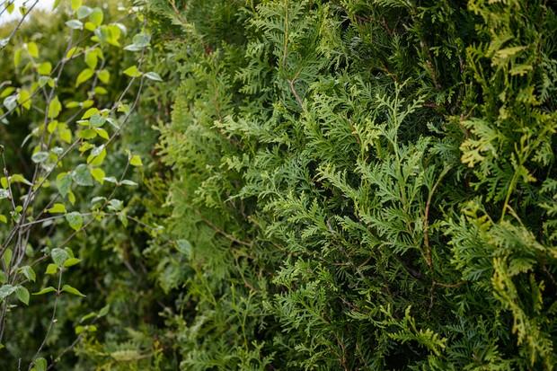 A hedge of western red cedar