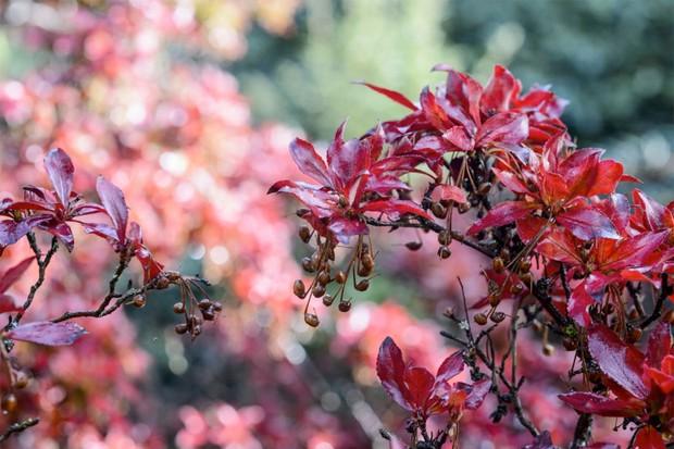10 unusual shrubs for autumn gardenersworld enkianthus cernuus f rubens 4 mightylinksfo