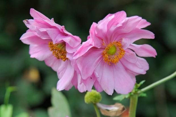 anemone-japonica-var-hupehensis-pamina-2
