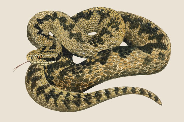 Adder (Vipera berus) illustration