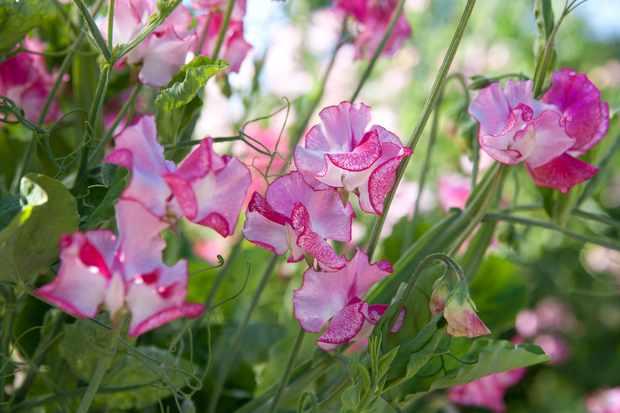 pink-sweet-peas-5