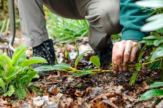 How to layer rhododendrons - laying the shoot on the ground