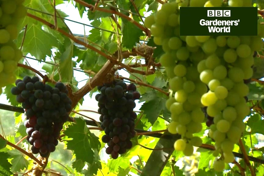 How to grow a greenhouse grapevine video
