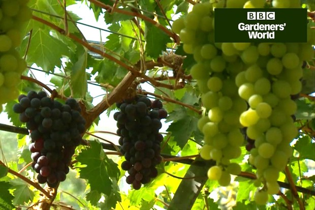 How to plant a greenhouse grapevine
