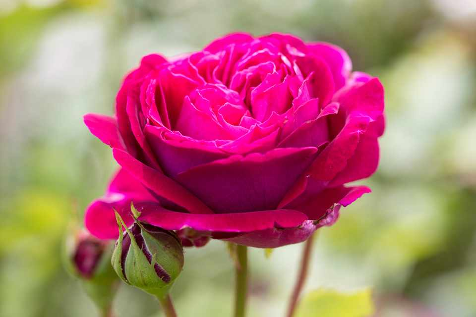How to plant a bare-root rose