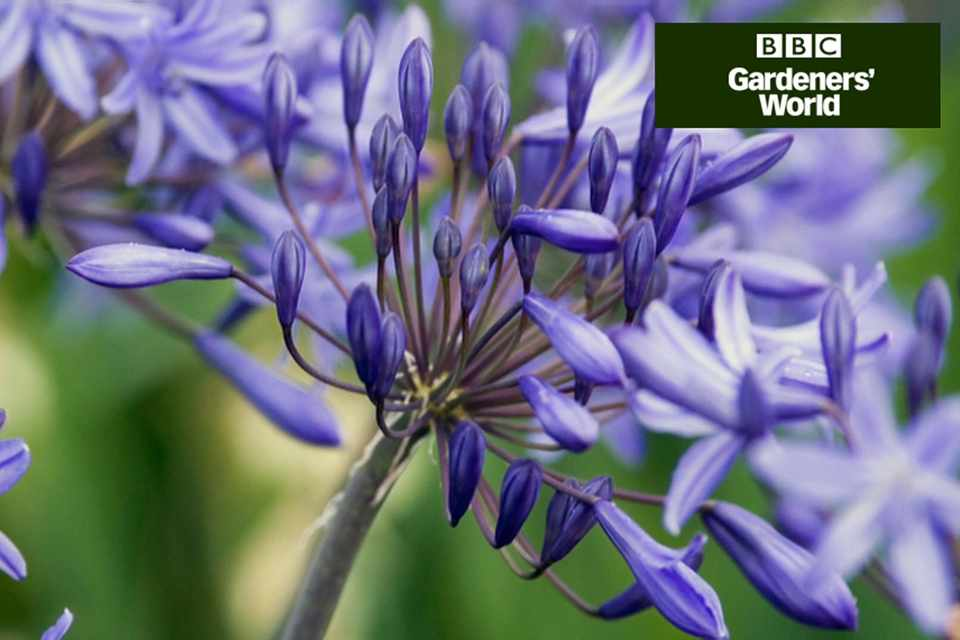 How to grow agapanthus in pots