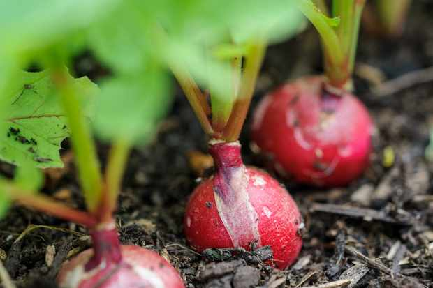 row-of-radishes-2