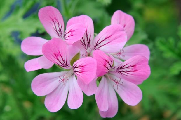 pelargonium-pink-capitatum-2