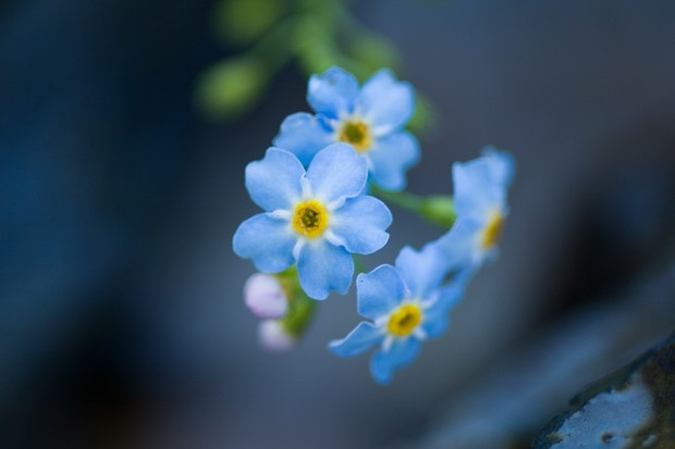 water-forget-me-not-2