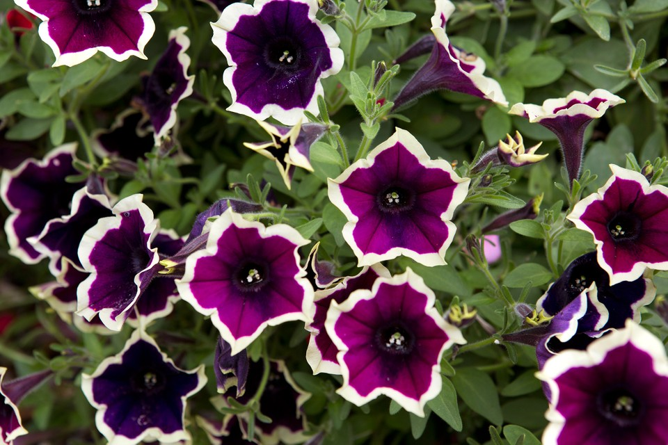 Best Petunias To Grow In Pictures Bbc Gardeners World Magazine