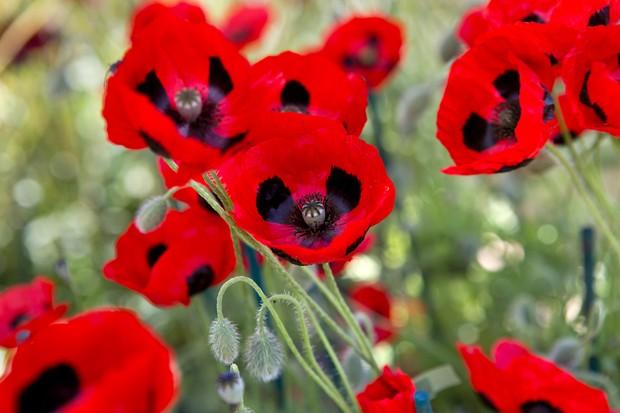 ladybird-poppy-2