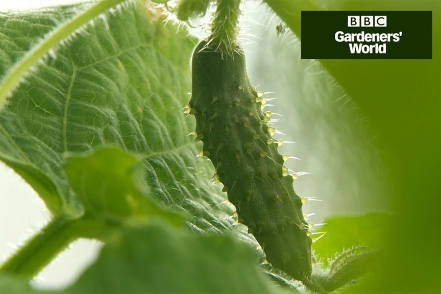 How to grow cucumbers video