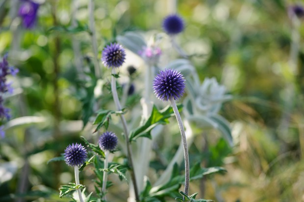 Best plants for bees in pictures gardenersworld globe thistles echinops 2 mightylinksfo