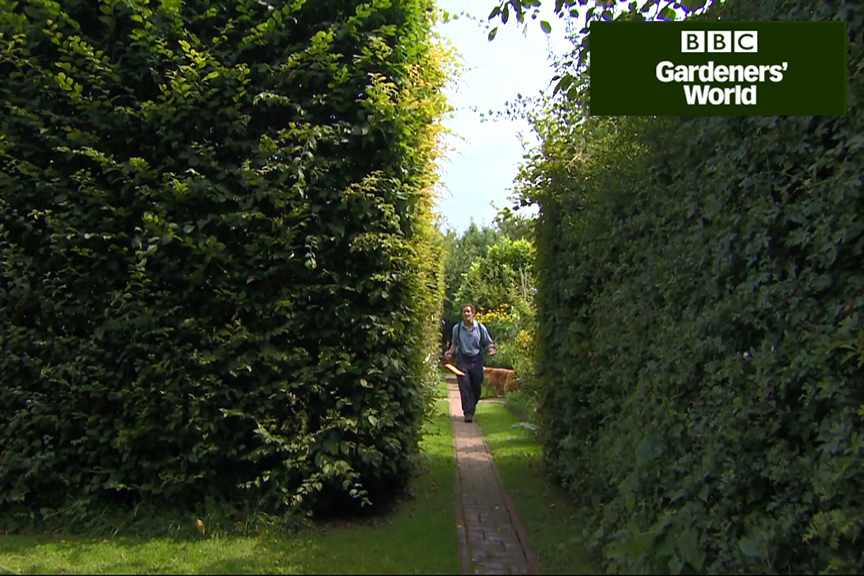 How to trim hedges in summer