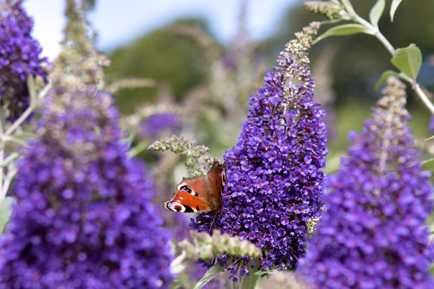 Purple-blue flowers of <em>Buddleja davidii</em> 'Cotswold Blue'