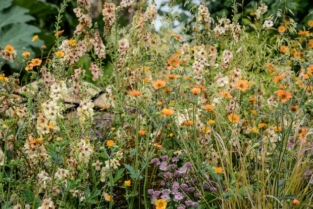 verbascum-and-geum