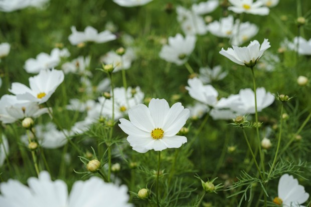 Cosmos: white blooms of 'Purity'