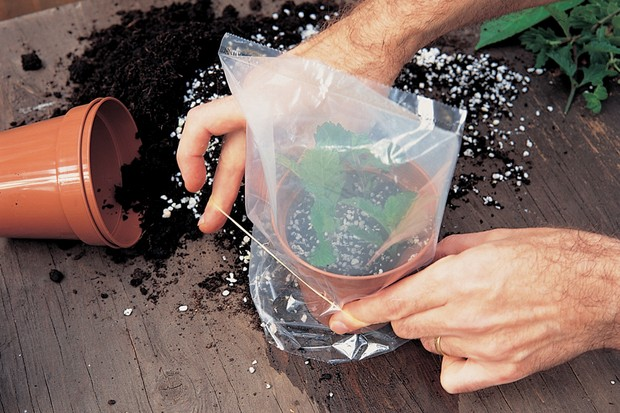 How to take verbena cuttings - covering with a clear polythene bag