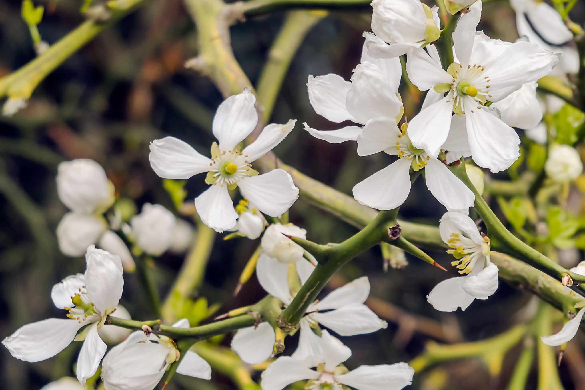 Poncirus trifoliata. Photo: Getty Images.