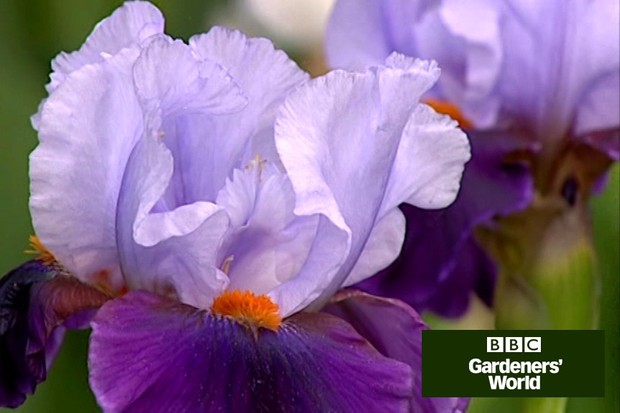 How to divide congested bearded irises