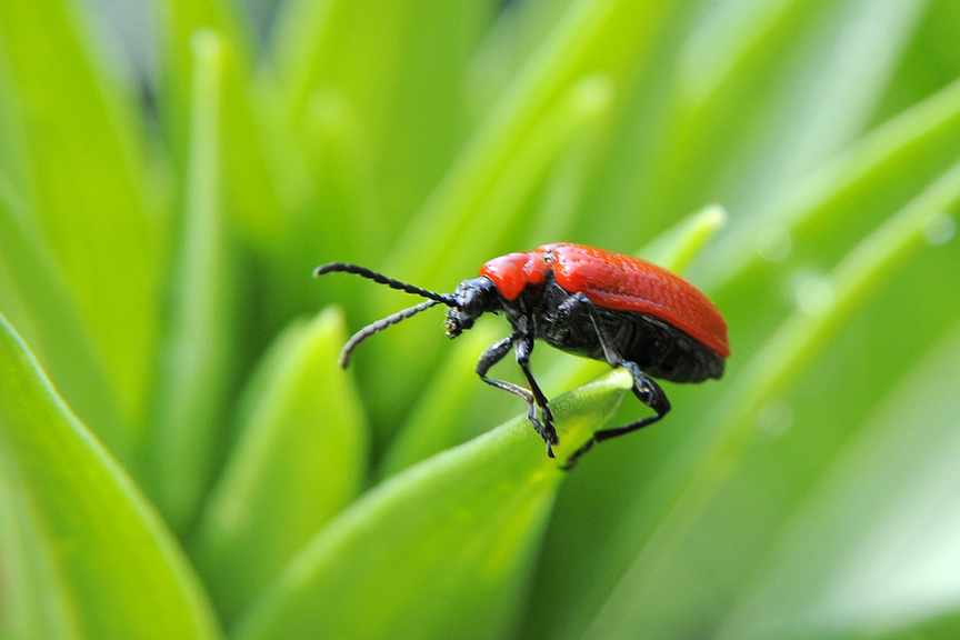 How do I get rid of lily beetles?