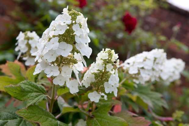 hydrangea-quercifolia-5