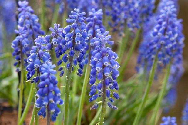 grape-hyacinth-muscari-4