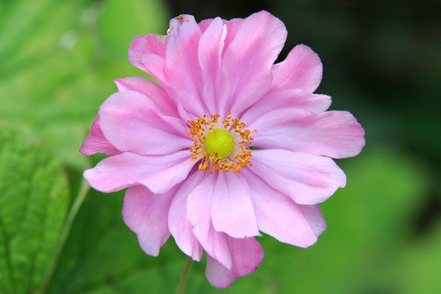 anemone-hupehensis-var-japonica-pamina-14