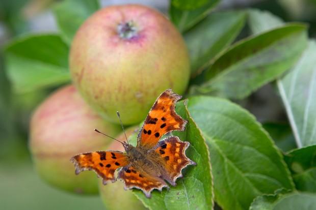 comma-butterfly-on-apple-tree-2
