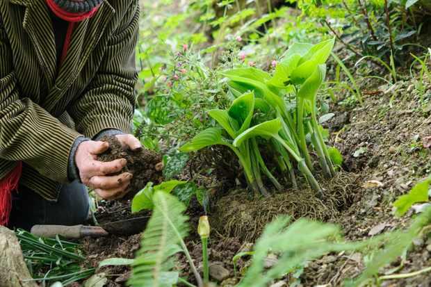 Planting a hosta