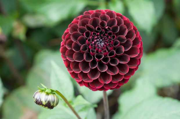How to grow dahlias from rooted cuttings
