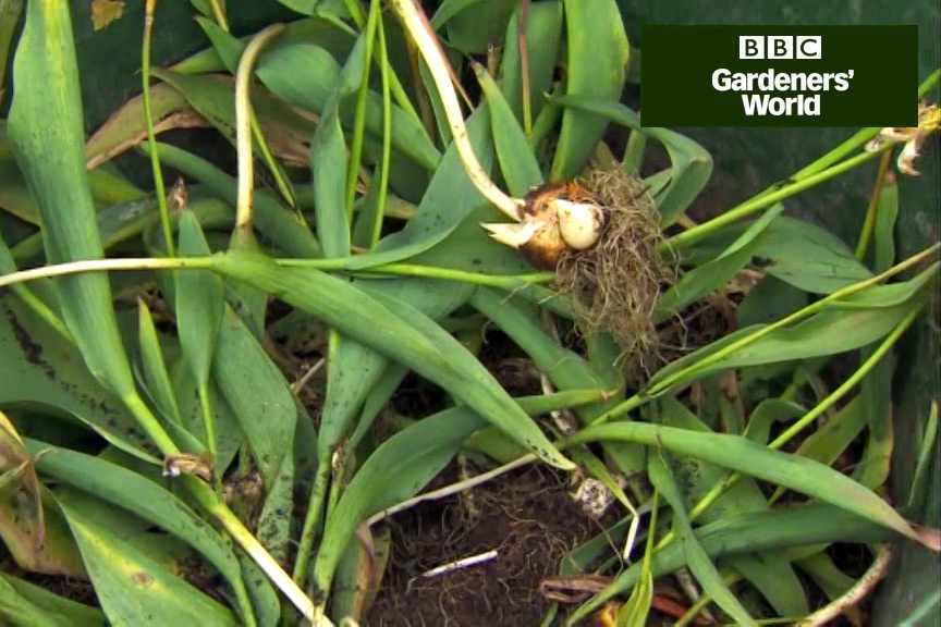 How to lift and store tulip bulbs video