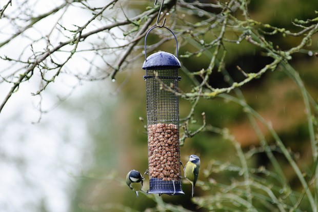 Blue tits on a bird feeder containing peanuts