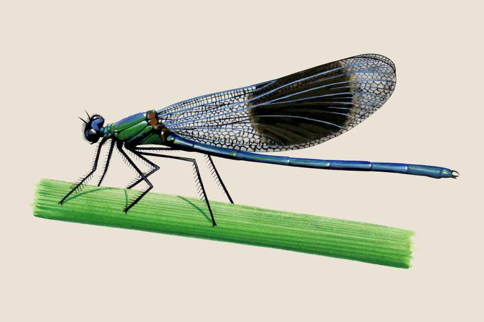 Illustration of a banded demoiselle, with a blue abdomen and dark blotch on its wings