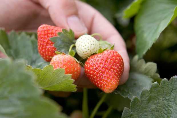 strawberry-cupid-2