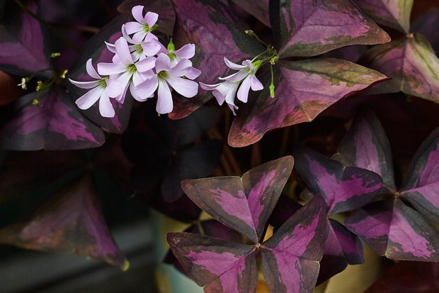 purple-shamrock-oxalis-triangularis-2