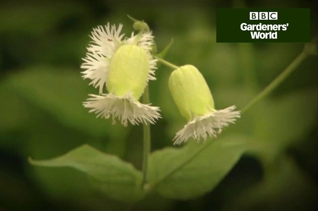 How to collect seed from astrantia and silene video