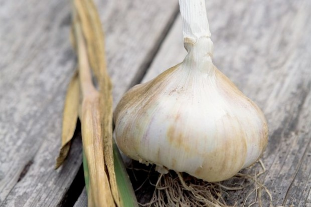A white bulb of garlic 'Albigensian Wight'