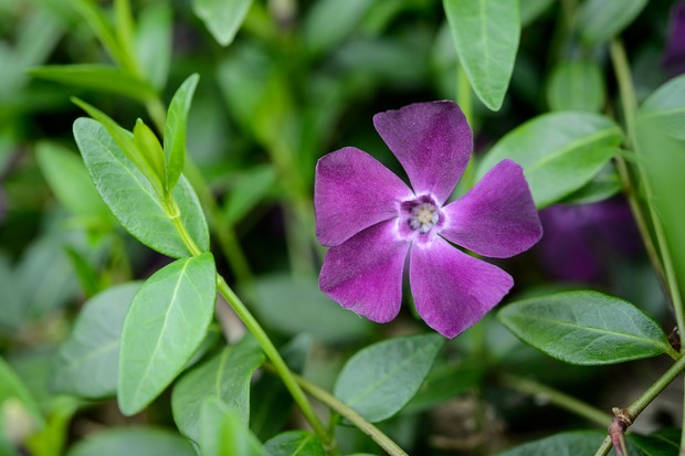 Purple periwinkle flower