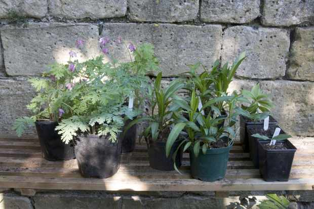 How to pot up bare-root perennials