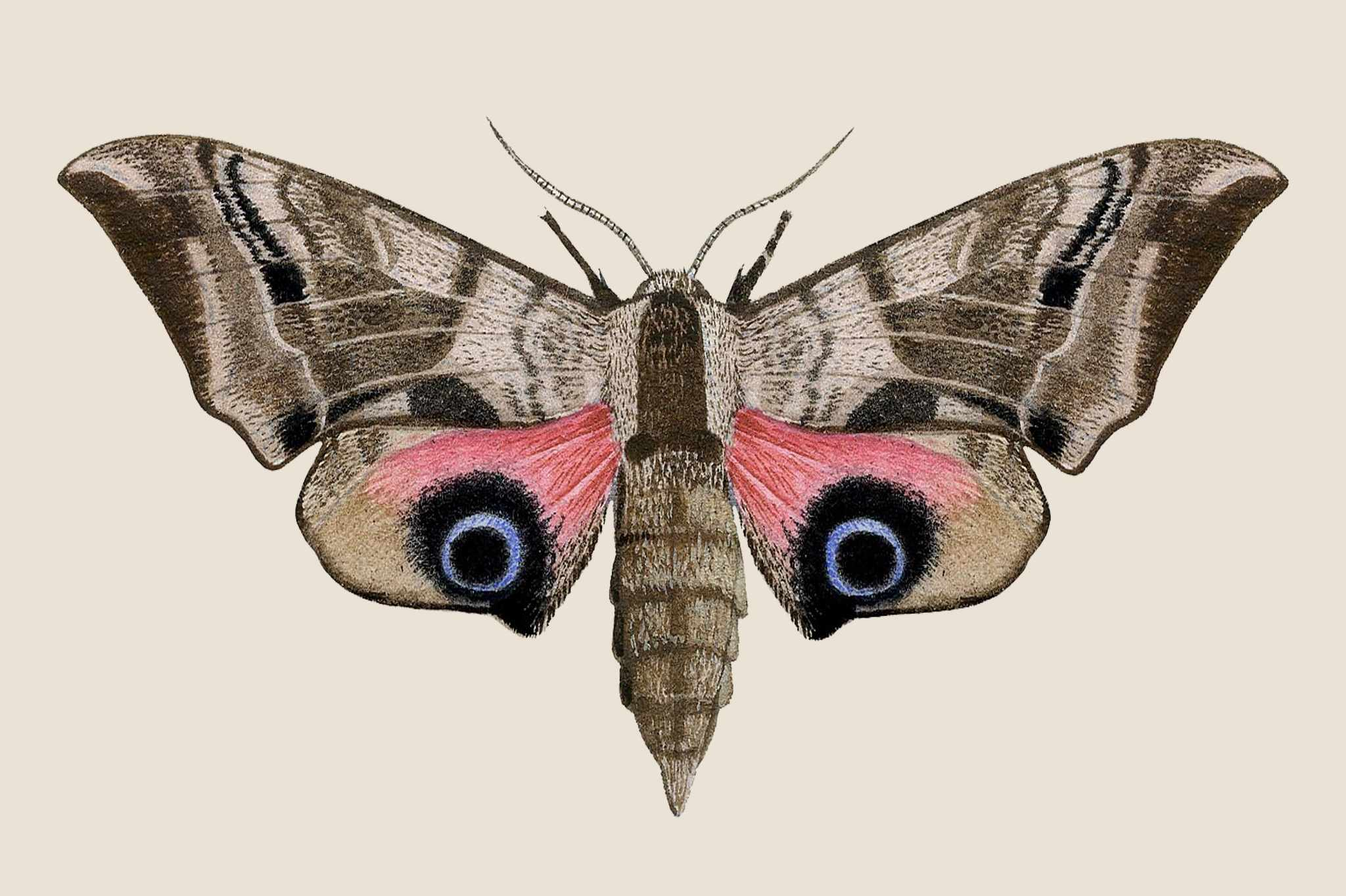 Eyed hawkmoth illustration