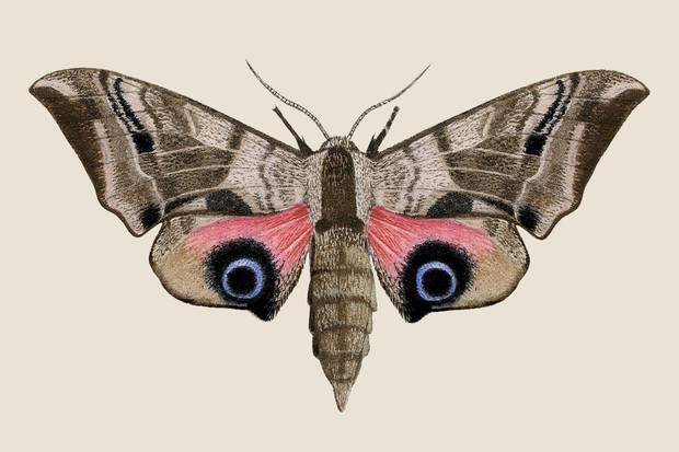 Eyed hawkmoth illustration