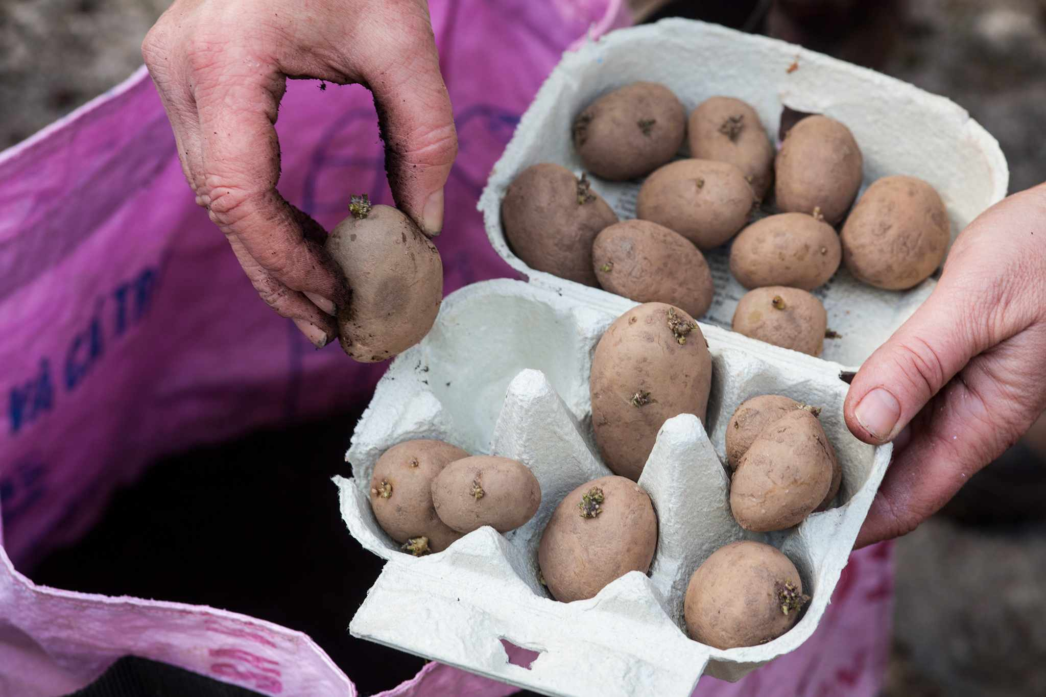 Growing Potatoes for Christmas