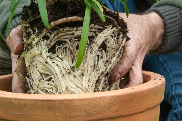 Planting the agapanthus in the container
